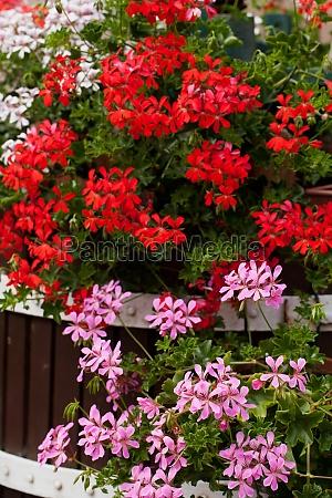 garten blume blumen pflanze geranie geranien