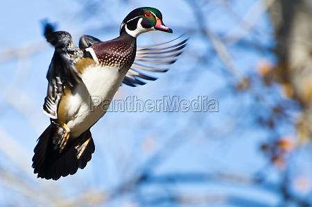 maennliche wood duck in flight