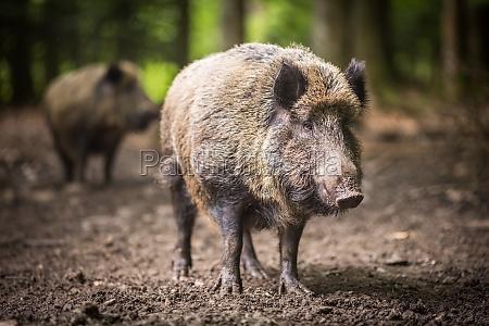 wildschwein sus scrofa