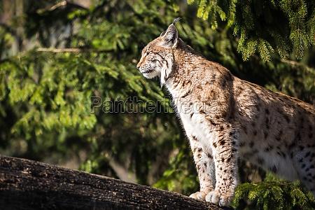 eurasischer luchs lynx lynx