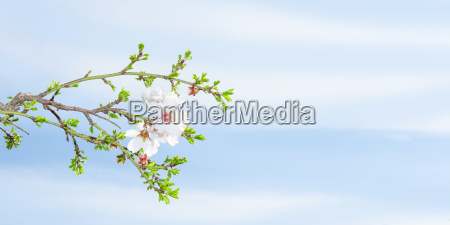 fruehlingsbluete aprikosenbaum gegen blauen himmel