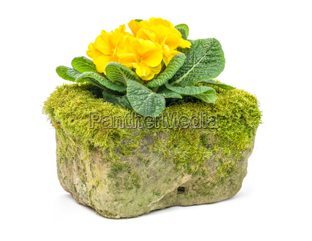 yellow primrose in a mossy flower