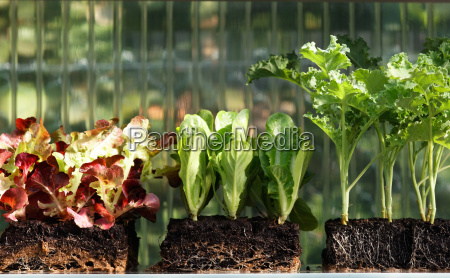 seedlings of vegetable plants