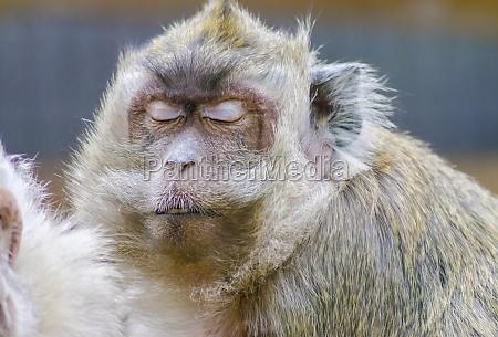 krabbe essen makaken