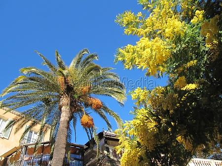 palme und mimose in bormes les