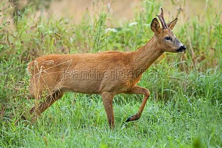 buck deer on the run in