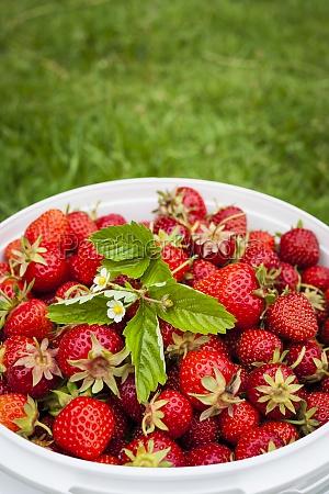 freshly picked strawberries