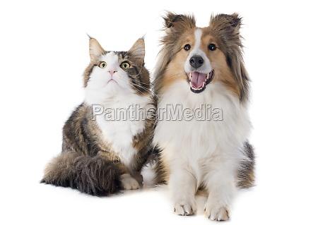 shetland hund und maine coon katze