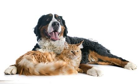berner berg hund und katze