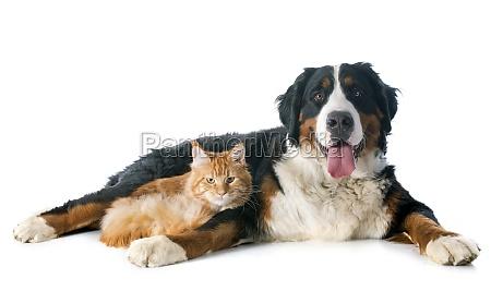 bernese moutain hund und katze
