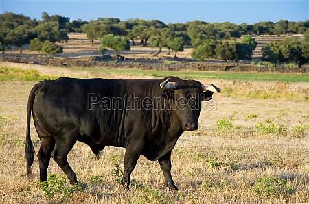 bekaempfung der stier gracing kostenlos