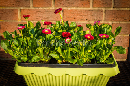 bellis in planter