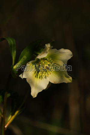 schneerose helleborus niger