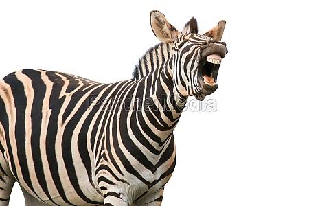schreien oder lachen zebra
