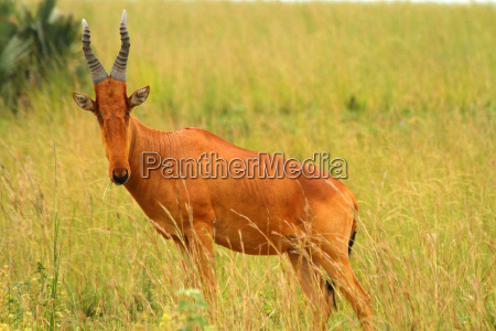 chewing hartebeest facing front