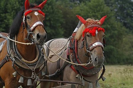 vlaams paards