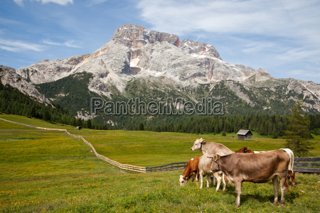 cattle on the plaetzwiese