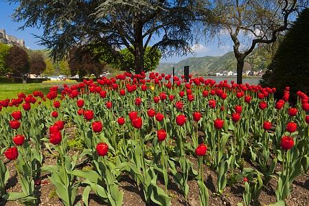 viele rote tulpen im park am