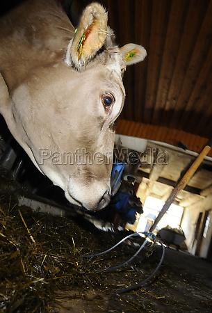 food animal feed feed cow cows