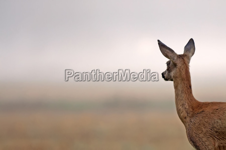 roe deer looking at something in