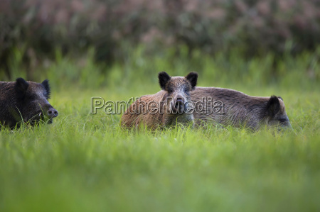 boars in der freien natur in