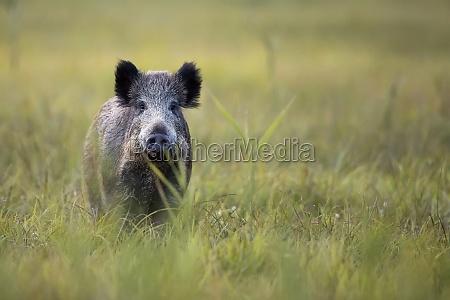 boar in the wild in a