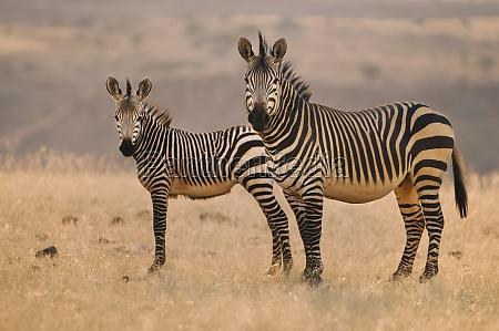 zwei berg zebras equus zebra auf