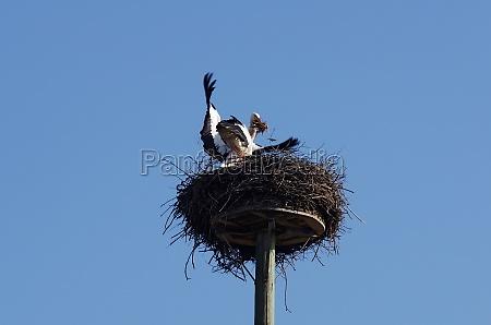 weissstorchpaar beim nestbau