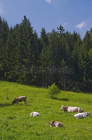 alpine meadow cows