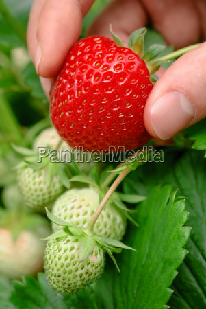 ripe strawberry fresh from the shrub