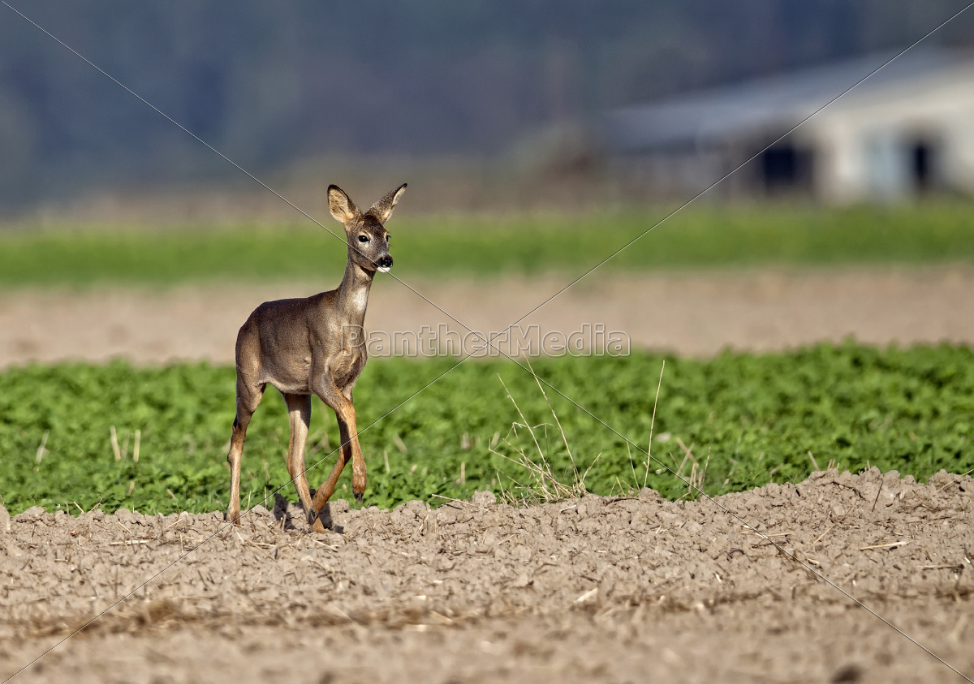 roe-deer, in, the, wild, , in, a - 11268557