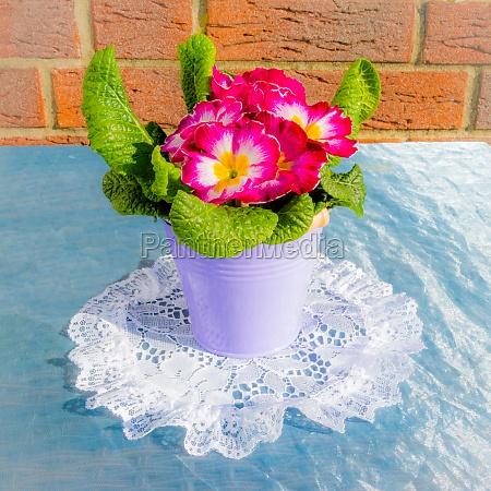 beautiful primrose on lace doily
