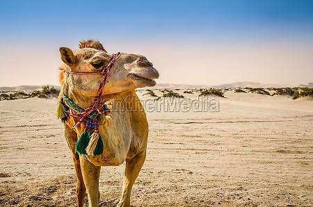 kamel stehend in der wueste wegschauen