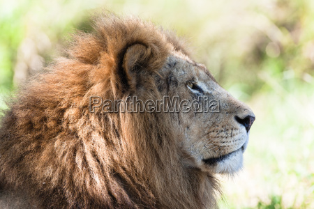 lion animal wildlife