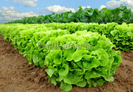 lettuce plants before harvest