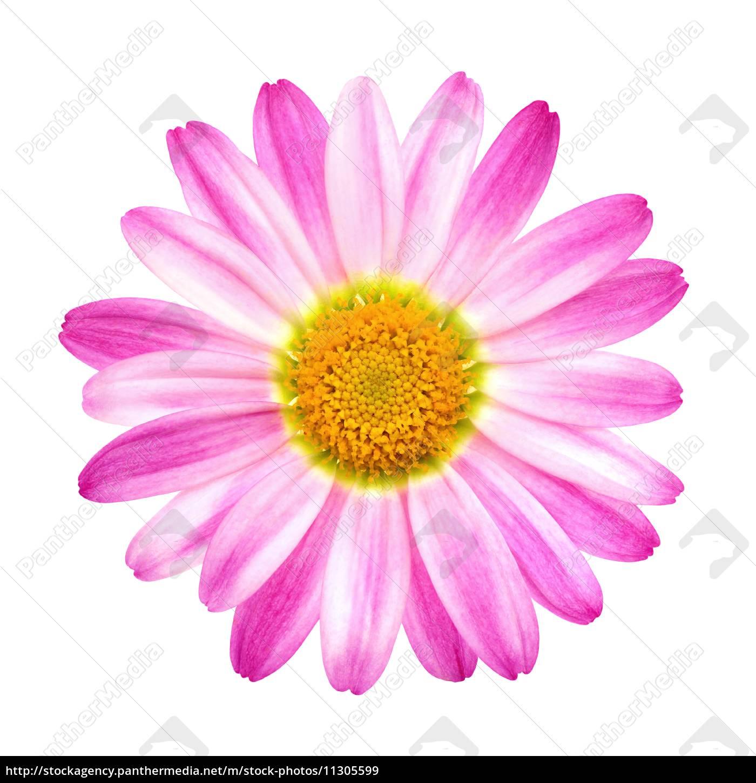 Berühmt Perfekte rosa Margerite auf Reinweiß - Stockfoto - #11305599 &UV_74