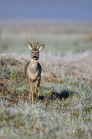 buck deer in a clearing in
