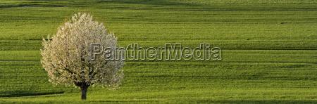 kirschbaum im fruehling