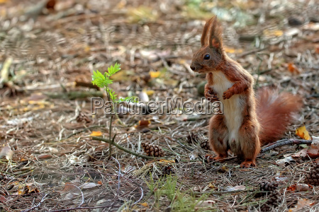 red squirrel in the forest