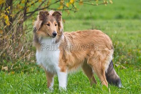 collies langhaar goldsable hunde huetehunde britische