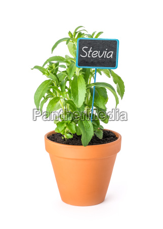 stevia plant in a clay pot