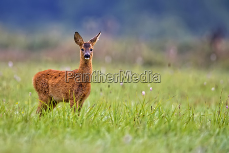 young roe deer in the wild