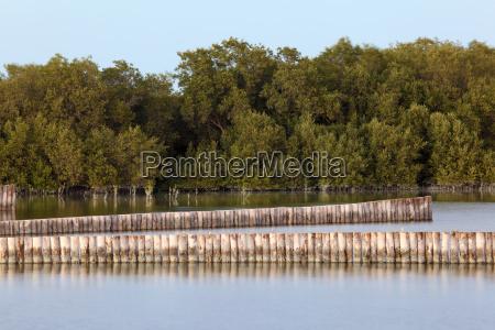 mangrove trees in abu dhabi united