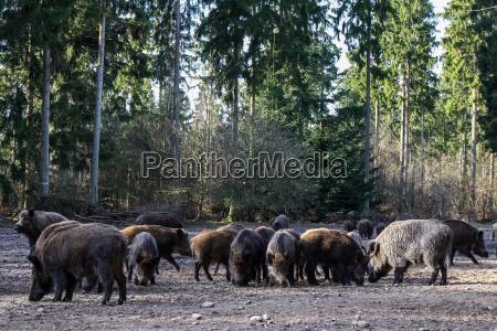 wildschweine in trappenkamp 04