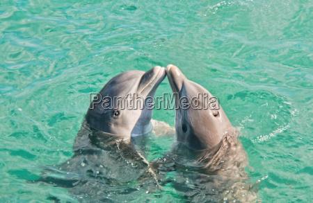 zwei delphine kuessen