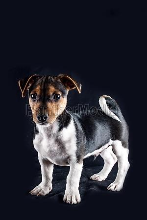 jack russel terrier junghund