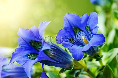 trompete gentiana blau frühling blumen im garten - Lizenzfreies ...