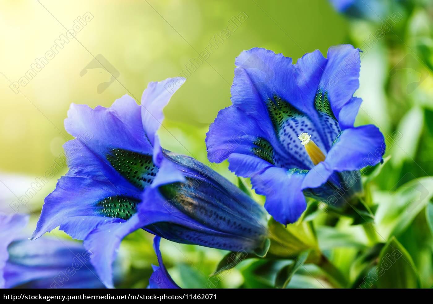 trompete gentiana blau frühling blumen im garten - Lizenzfreies Bild ...