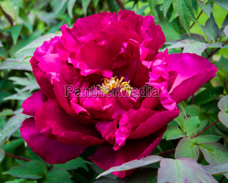 blossom paeonia