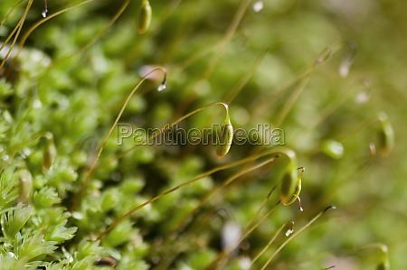 moss blossoming macro